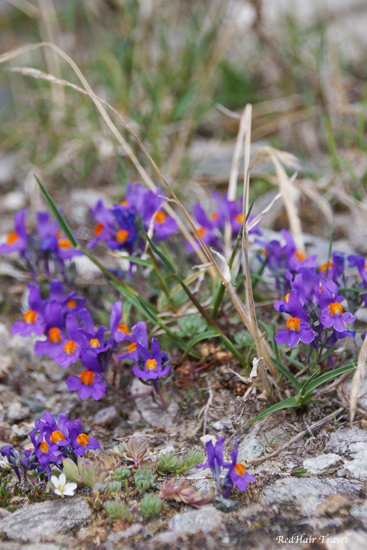 альпийские цветы, Гросглоккнер (Grossglockner)