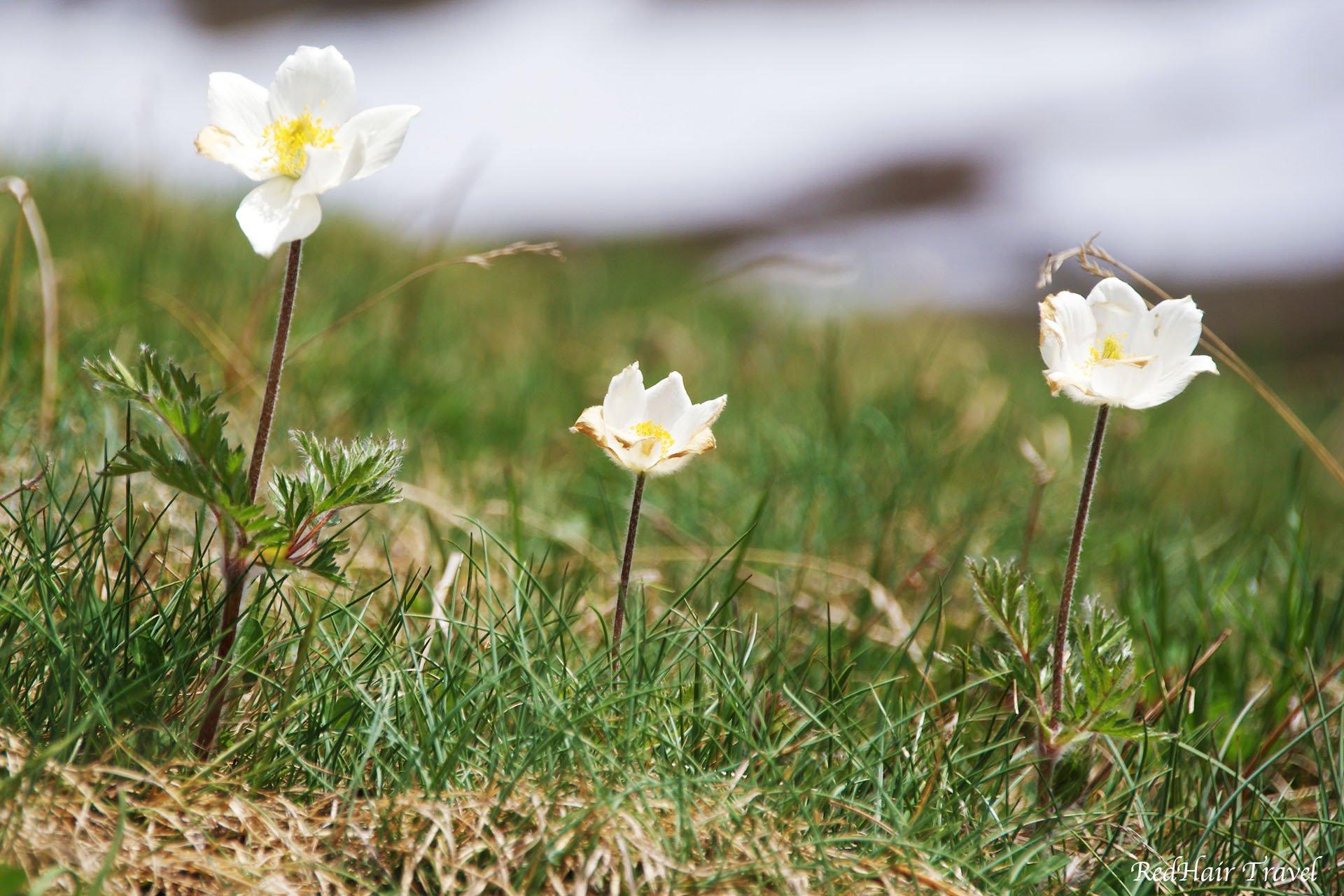 grossglockner flowers