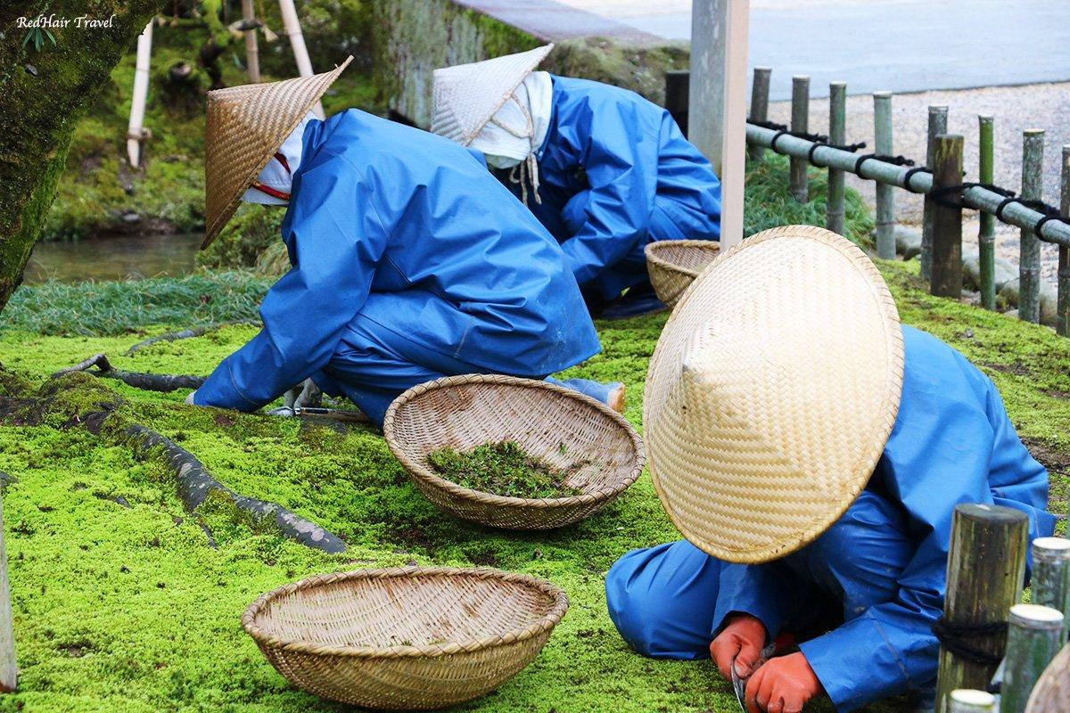 Кенроку-эн сад, Канадзава, пропалывают мох