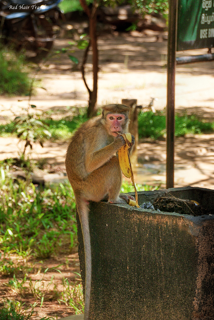 обезьяны, Шри Ланка