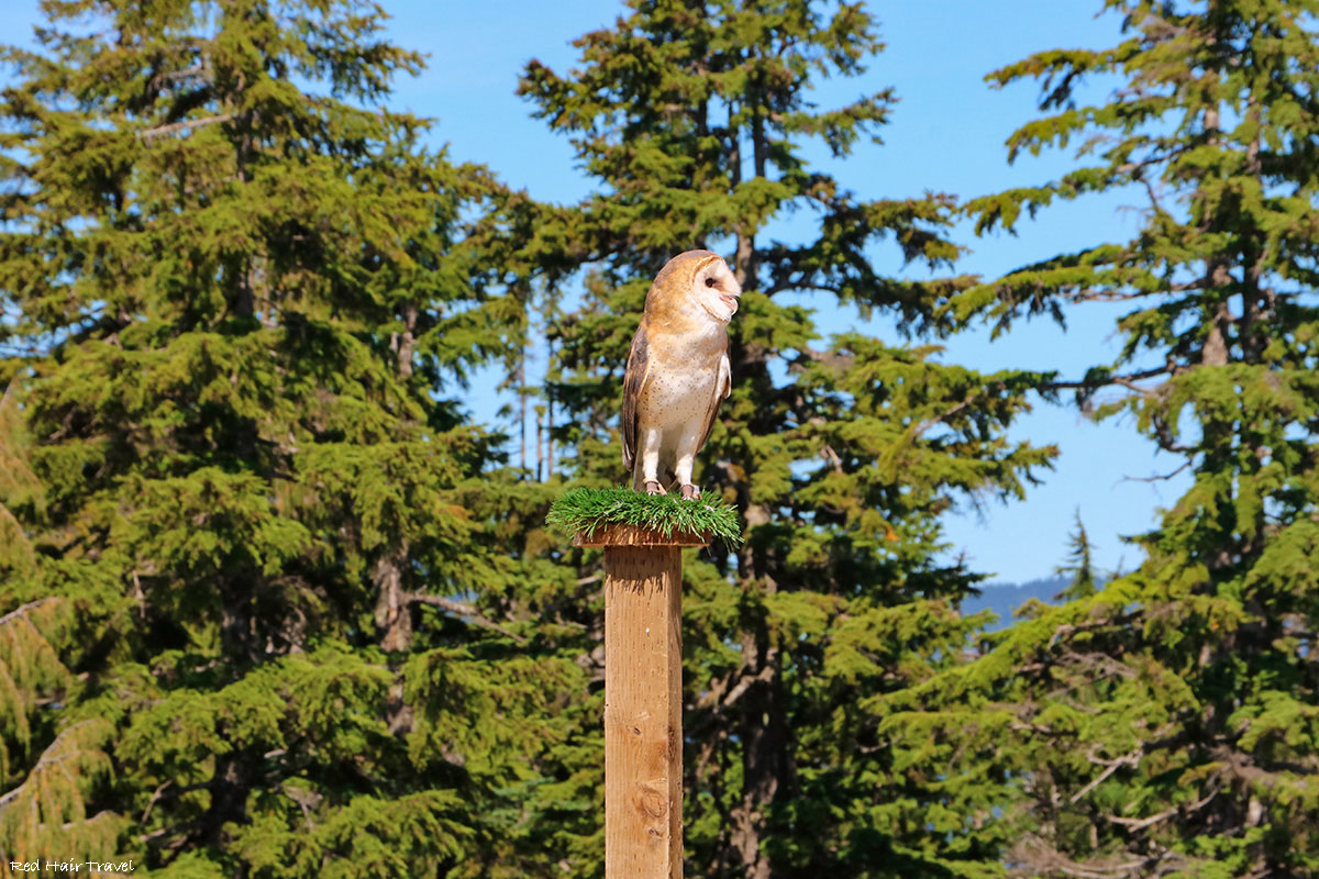 owl, grouse mountain