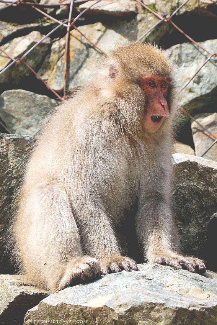 снежные обезьяны, Дзигокудани