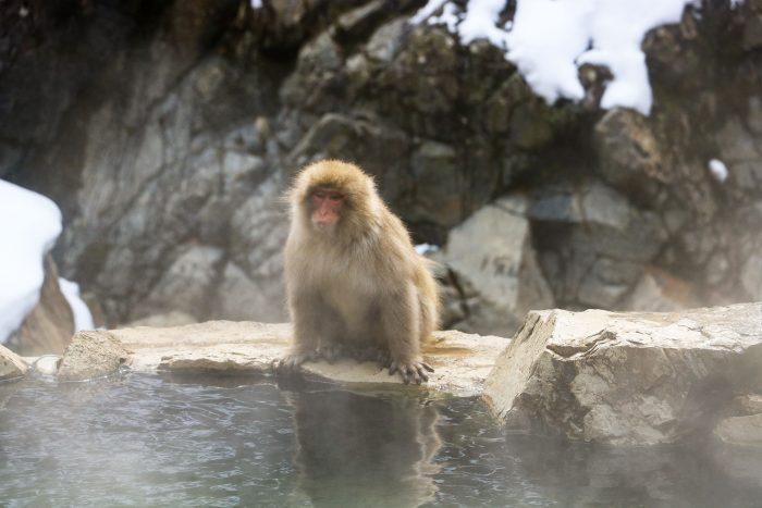 японские обезьяны Дзигокудани