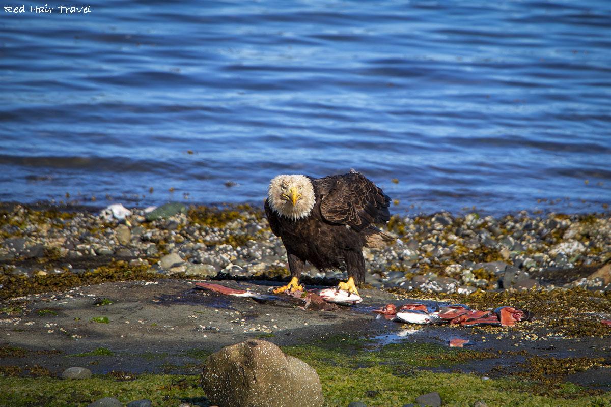 bald eagle, port Hardy, North Vancouver Island