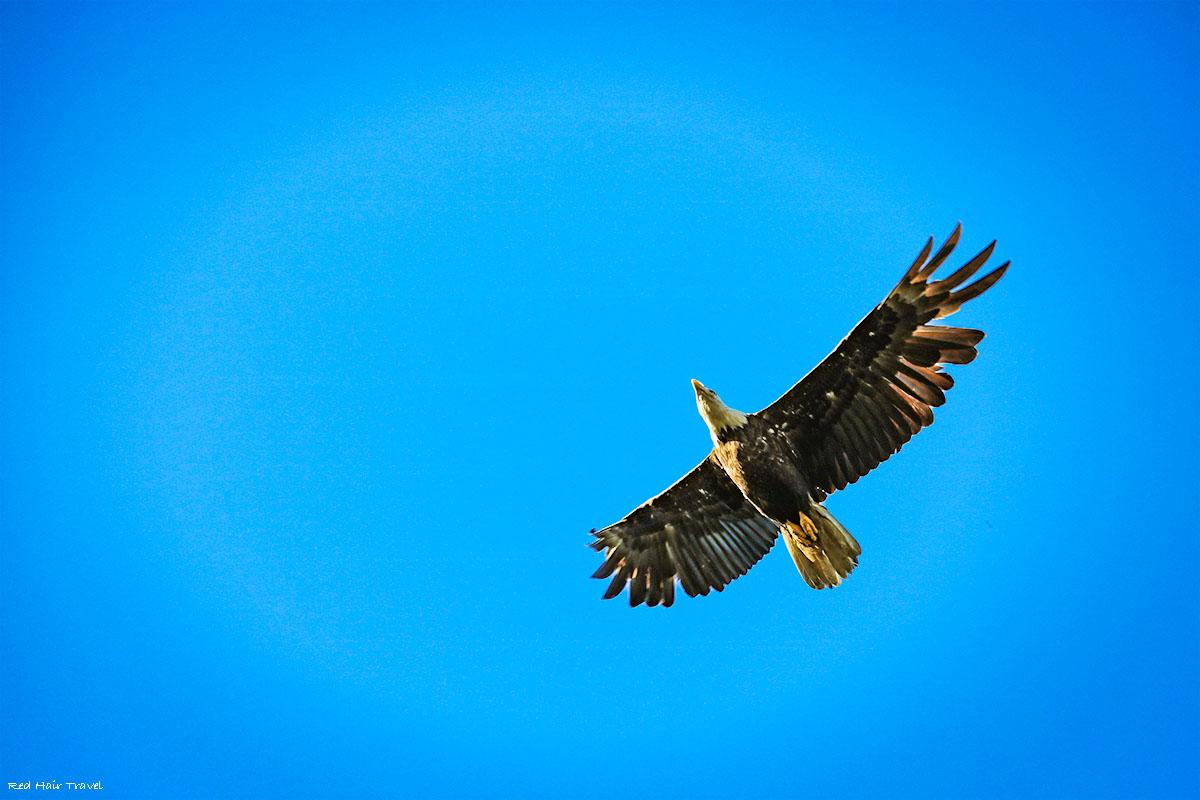 bald eagle, port Hardy