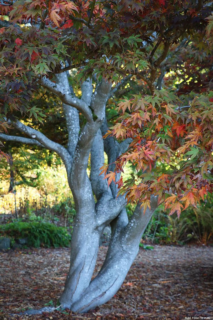 Ботанический Сад UBC, Ванкувер, клен