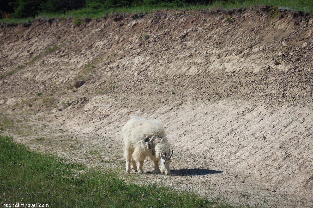 горный козел, Джаспер
